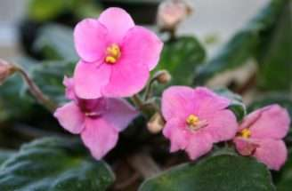 African Violets Easy Care House Plants