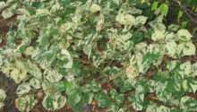Fallopia Variegated Shade Loving Plant Flower Gardens