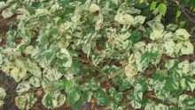 Fallopia Variegated Shade Loving Plant Flower Gardens