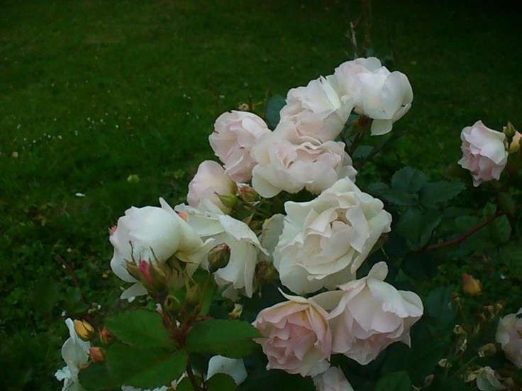Old Fashioned Roses Daughter Garden Pinterest