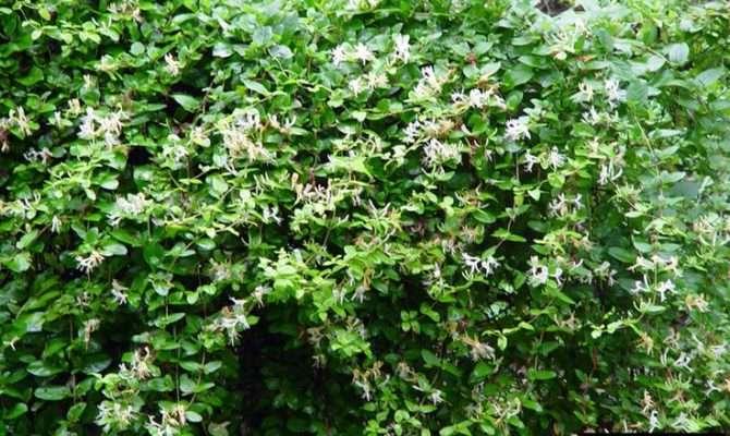Shade Loving Shrub Honeysuckle Poolside Plants Pinterest